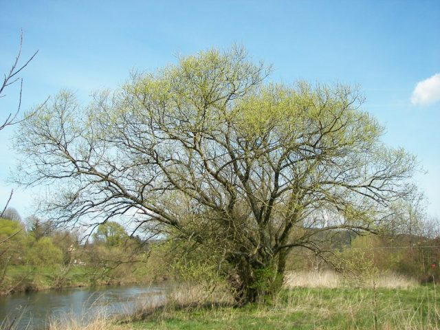 The bark of willow trees contains large amounts of salicylic acid, which is the active metabolite of aspirin. Willow bark has been used for millennia as an effective pain reliever and fever reducer. Courtesy Wikipedia